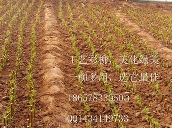 供应桉树,桉树组培苗,速生桉树,耐寒桉树,桉树种子,大叶相思,台湾相思