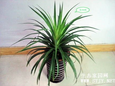 主题:[供应]龙须树盆景 龙须树品种 上海龙须树厂家 智博供